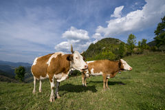 Cows taking a break on a meadow. Cattle having lunch in the mountains Stock Photos