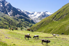 Cows and Taschachferner, Austria Stock Photos