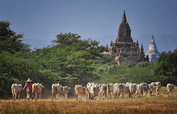 The Cows and the Temple Royalty Free Stock Photography