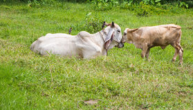 Cows in thailand Royalty Free Stock Photos