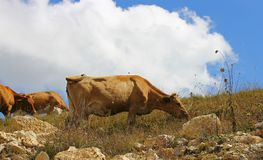 Cows on ths summer meadow against blue sky. A Cows on ths summer meadow against blue sky Stock Images