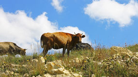 Cows on ths summer meadow against blue sky Royalty Free Stock Images