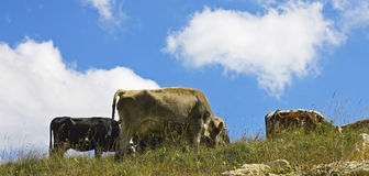 Cows on ths summer meadow against blue sky Royalty Free Stock Photos
