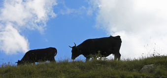 Cows on ths summer meadow against blue sky Stock Photo