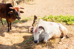 Cows with tika Royalty Free Stock Photo