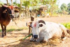 Cows with tika Stock Photos