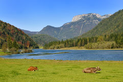 Cows in Tirol. Cows grazing in front of the Pillersee in Tirol Stock Images