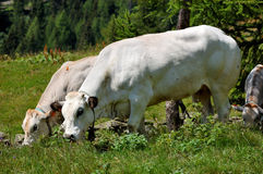Cows to pasture. Two white cows in an italian alpine pasture Royalty Free Stock Photo