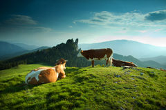 Cows on a green fiedl Royalty Free Stock Images