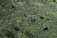 Cows from top view Royalty Free Stock Photo