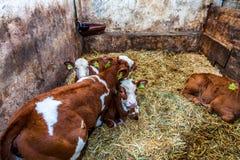 Cows in a farm stock photos