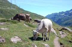 Cows on trail. In Switzerland royalty free stock images
