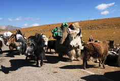 Cows transport family. A group of cows move with their owner, carring luggage with their back Royalty Free Stock Photo