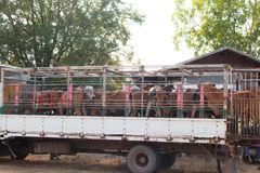 Cows transport in Thailand. Redeemer lives cows Royalty Free Stock Photos