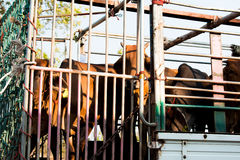Cows transport in Thailand. Redeemer lives cows Stock Image