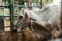 Cows transport in Thailand,. Redeemer lives cows Stock Photography