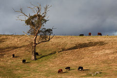 Cows and tree Royalty Free Stock Photography