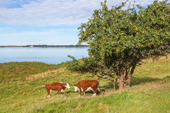 Cows at a tree Stock Image