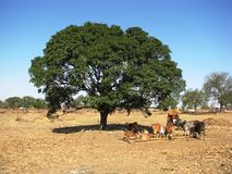 Cows and trees. Photo of some cows take cover under shade in the hot deserty country of india Royalty Free Stock Images