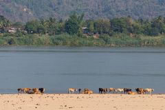 Cows on a tropical river Beach. Herd of cows on a sandy beach in Don Daeng island, with Mekong river and a tropical forest in the background royalty free stock photo