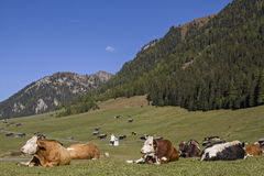 Cows on Tschey meadow in Tyrol Stock Images