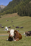 Cows in Tyrol Royalty Free Stock Photos