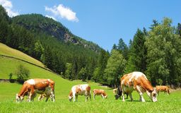 Cows in Tyrolean Alps. Royalty Free Stock Images
