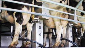 Cows udder milking with breast on dairy farm. Agriculture industry, farming, milking and animal husbandry concept - cows udder with breast in cowshed on dairy stock video footage