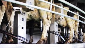 Cows udder milking with breast on dairy farm. Agriculture industry, farming, milking and animal husbandry concept - cows udder with breast in cowshed on dairy stock footage