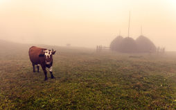 Cows in Ukraine during a foggy sunrise Stock Photos