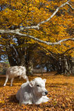 Cows under autumn tree Royalty Free Stock Image