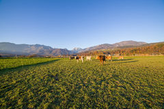 Cows under slovenian alps Royalty Free Stock Images