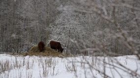 Cows under snow. Several cows of different colors, standing under the snow in a beautiful snow-covered village stock video