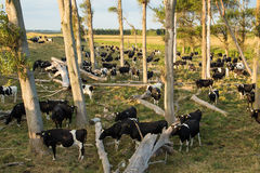 Cows Under Trees Royalty Free Stock Photo