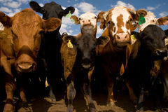 Cows Up Close And Personal Royalty Free Stock Photo