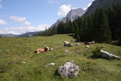 Cows. Val d`Agola Tn, Italy, some cows grazing stock image