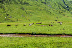 Cows in a valley Royalty Free Stock Photography