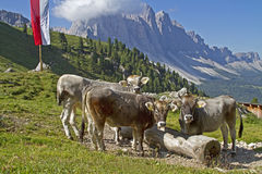 Cows in valley Funes Stock Photo