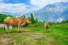 Cows in the valley Stock Photography