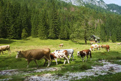 Cows in the valley Royalty Free Stock Photography