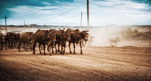 Cows Vietnam. Travel photo from Vietnam. Cows on the road Royalty Free Stock Photo