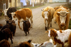 Cows in a village. Color horizontal shot of some cows on a village road royalty free stock photo