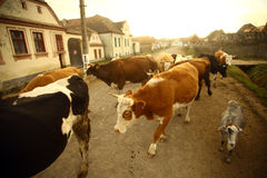 Cows in a village. Color horizontal shot of some cows on a village road Stock Images