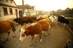 Cows in a village. Color horizontal shot of some cows on a village road stock photos