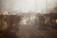 Cows in a village. Color horizontal shot of some cows on a village road, at sunrise Stock Images