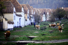 Cows in a village. Viscri, Romania - November 6, 2014: Color horizontal shot of some cows and people on a village road, in Viscri, Romania royalty free stock photo