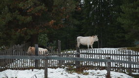 Cows in the village in winter stock footage