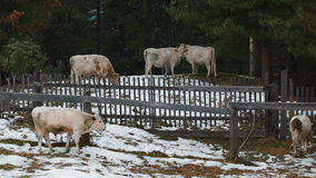 Cows in the village in winter stock video footage