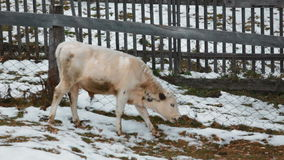 Cows in the village winter stock video footage