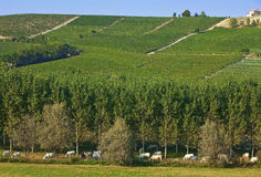 Cows and vineyards in  Italy. Royalty Free Stock Photo